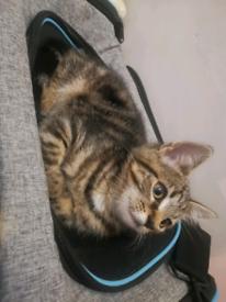 Tabby kitten plus his accessories