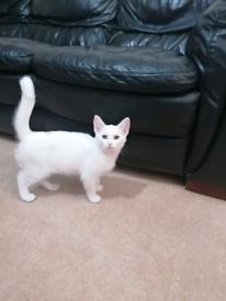 Beautiful Russian White Kitten