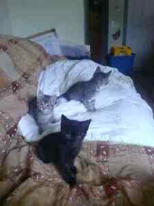 1 black and 2 tabbys for sale