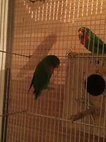 3 love birds and 4 budgies for sale with cage