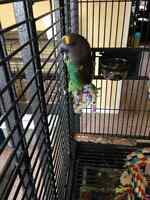 Proven Breeding Pair of MEYERS PARROTS