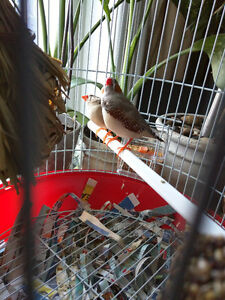 Zebra Finches + Cage. Accessories. Food. Treats.