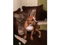 Staffordshire bull terrier cross red tan with white chest 6months old