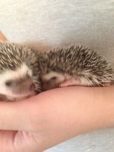 Female & Male Hedgehogs Available  Kawartha Lakes Peterborough Area image 4