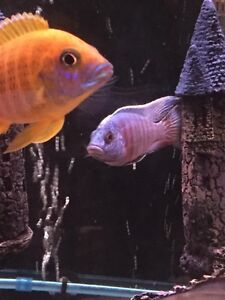 Cichlids For sale juvies 1-2 inch