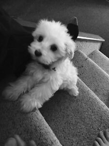 Maltese pups-miniature-ready for new home Edmonton Edmonton Area image 3