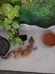 1 Pair leopard geckos with full set up