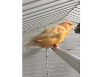 Canary with cage for sale