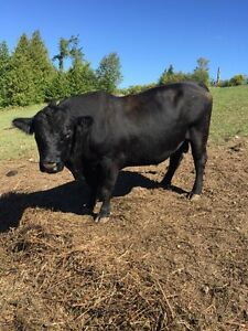 Black Angus bull for rent or for sale