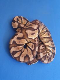Pastel Royal pythons / ball pythons