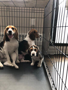 Beagle | Adopt Dogs & Puppies Locally in Ontario | Kijiji Classifieds