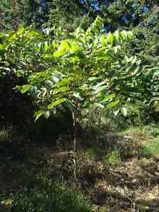 Walnut trees, lilacs and other shrubs and trees for sale
