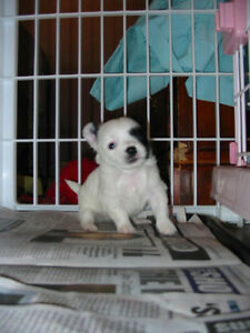APPLE HEAD Long Coat CHIHUAHUA PUPPY First Shots Health Record