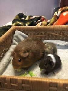 Guinea pig pups and mom