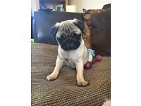 1 BEAUTIFUL PUG GIRL PUPPY FOR SALE *READY NOW*