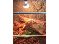 Red iguana for sale