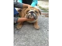 English bulldog male