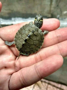 Baby Sawback Turtles