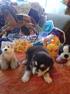 SIBERIAN HUSKY PUPPIES FOR FOREVER HOMES