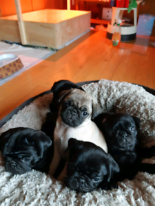 Purebred pug puppies for sale