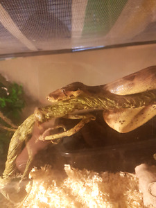 3 year old Hypomelanistic Boa Constrictor