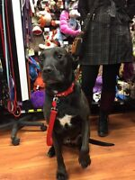 Ethos - Pitbull Lab looking for a home