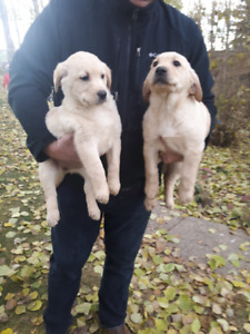 Black and Yellow Lab puppies for Sale!