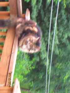 Port Hope, Maine Coon X male, black and tanned color pls help us Peterborough Peterborough Area image 3