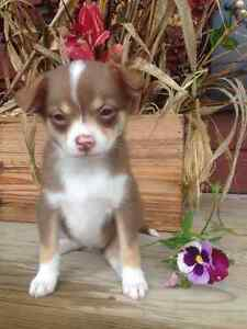Chihuahua cross puppies