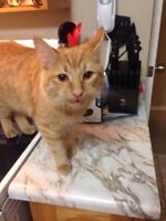 Make Orange Tabby Cat -Free to good home