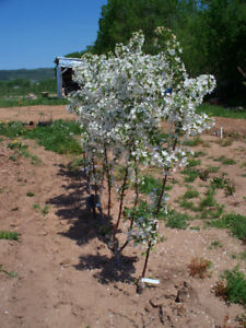 Fruit Trees, Apple, Plum, Pear for Sale,26 to$29 each NO TAX.