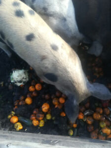 pigs for butcher or breeding