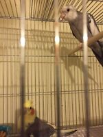 Cockatiel couple 200$