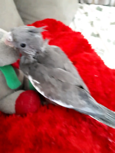 Sweet baby boy cockatiel ready in time for Christmas