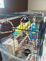 Budgies For Sale, Cage and Food Included $60