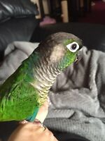 Sweet Hand Tame Green Cheek & Cage