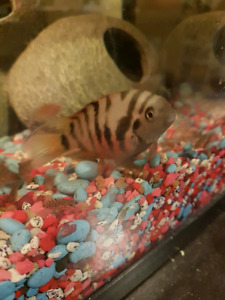 Convict cichlids for trade