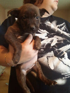 Chiot Boxer croisé Labrador