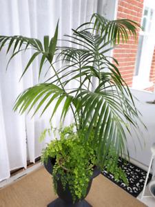 Palmier Kentia (Howea forsteriana) à vendre