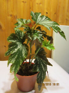 Elephant Ears Plant - (Angel Wing Begonia)
