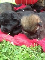 TIME TO RESERVE YOUR WORKING LINE GERMAN SHEPHERD PUPPY