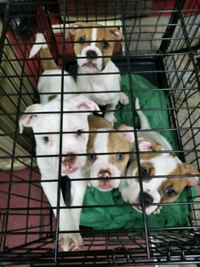 Purebread American Bulldog Puppies!!