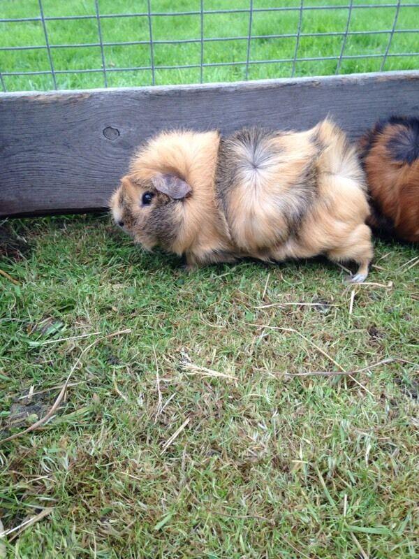 Femail guinea pig