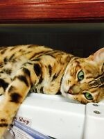 FEMALE EXOTIC PUREBRED ROSETTED BENGAL (UNALTERED)