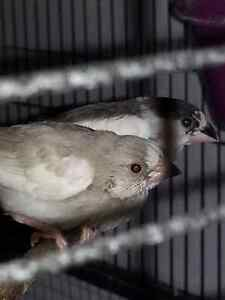 Baby society or bengalese finches for sale