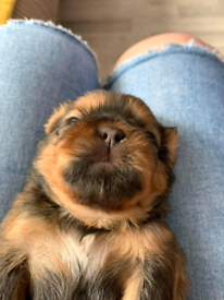 Shih-tzu puppies ready now