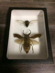 Giant water bug & Cigale taxidermie cadre insecte