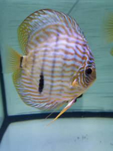 discus for sale-proven pair- Alenquer Cross