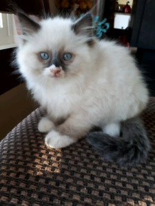 Beautiful and gorgeous pure breed Ragdoll kittens.