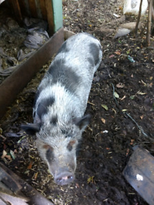 Pet Pot bellied pigs flo and glo